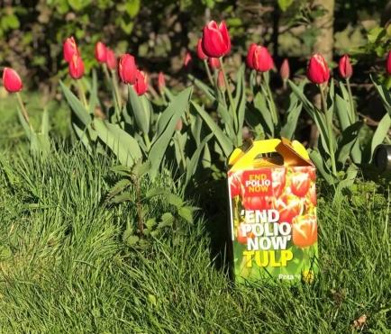 Tulpen in hun schoonheid